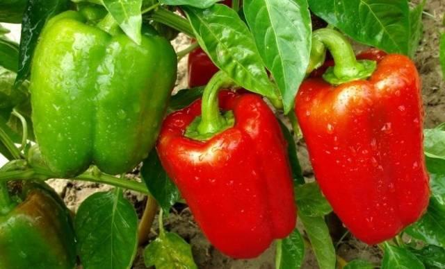 Подкормка рассады томатов и перца нашатырным спиртом: рецепт