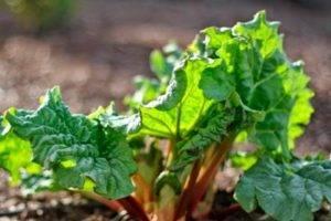Полезные свойства тархун-травы: как готовить, применять в медицине и кулинарии