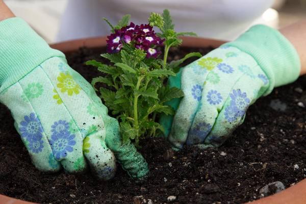 Вербена: выращивание из семян в домашних условиях
