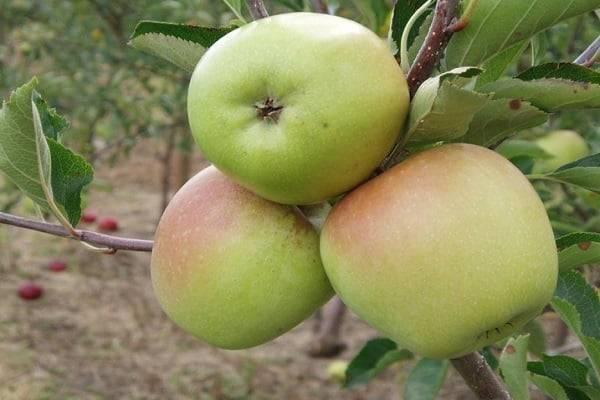 Описание сорта яблони Корей и характеристики, урожайность и история селекции