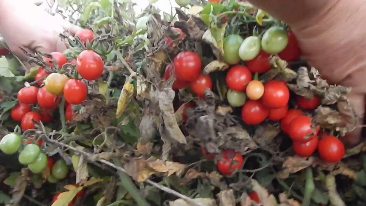 Характеристика и описание сорта томата розовое чудо, его урожайность