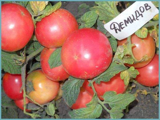 Сеньор помидор – что любит и не любит популярное дачное растение