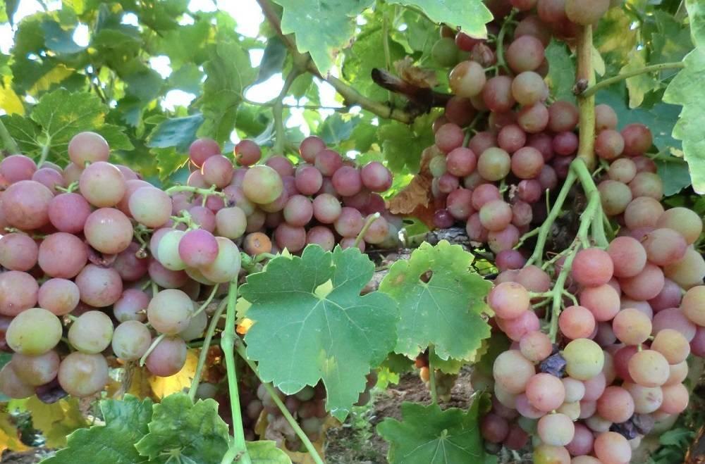 Неприхотливый и очень сладкий — виноград «алешенькин дар»