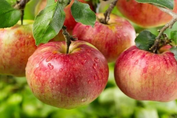 Сортовые особенности яблони ауксис