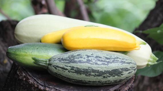 У кабачков желтеют и скручиваются листья: как с этим бороться в открытом грунте