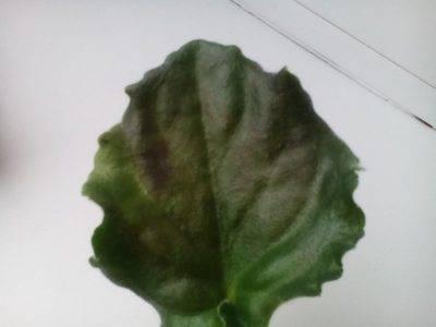 Почему у огурцов появляются мраморные листья, и как с этим бороться