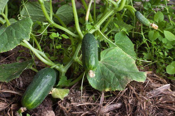 Как правильно посадить огурцы в открытый грунт семенами
