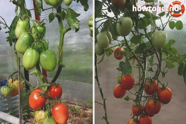 Лучшие сорта помидоров для открытого грунта