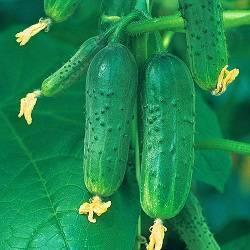 Описание сорта огурцов Верные друзья, особенности выращивания и ухода