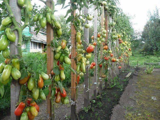 Томат петруша огородник: фото, особенности сорта