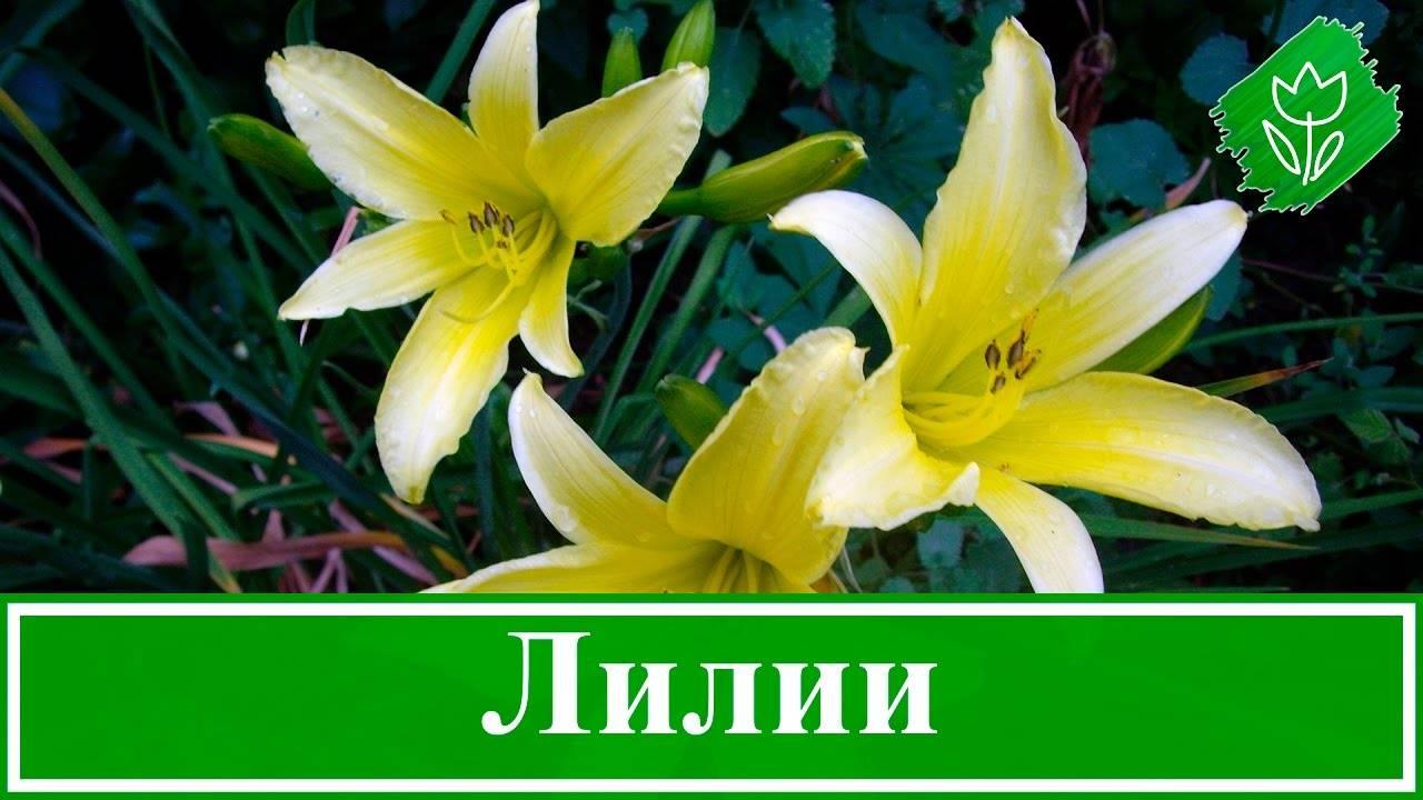 Лилия тигровая: посадка, выращивание, размножение