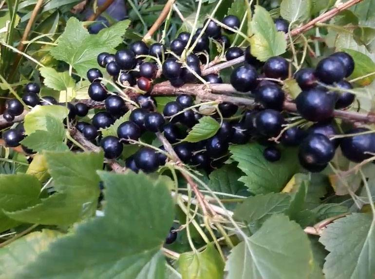 Смородина: описание и технология выращивания