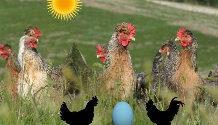 Производители голубых яиц — курочки легбар