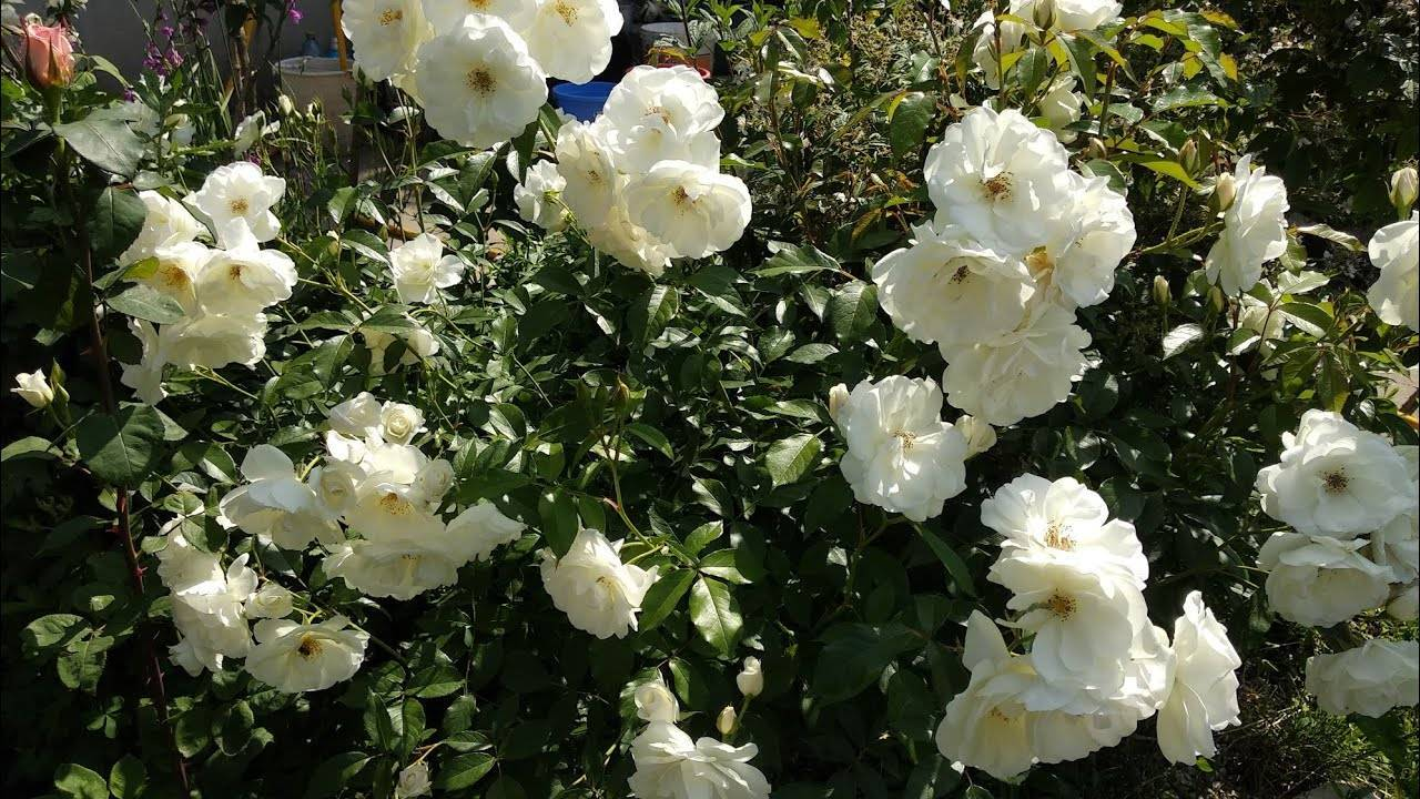 Плетистые розы цветущие все лето сорта зимостойкие.