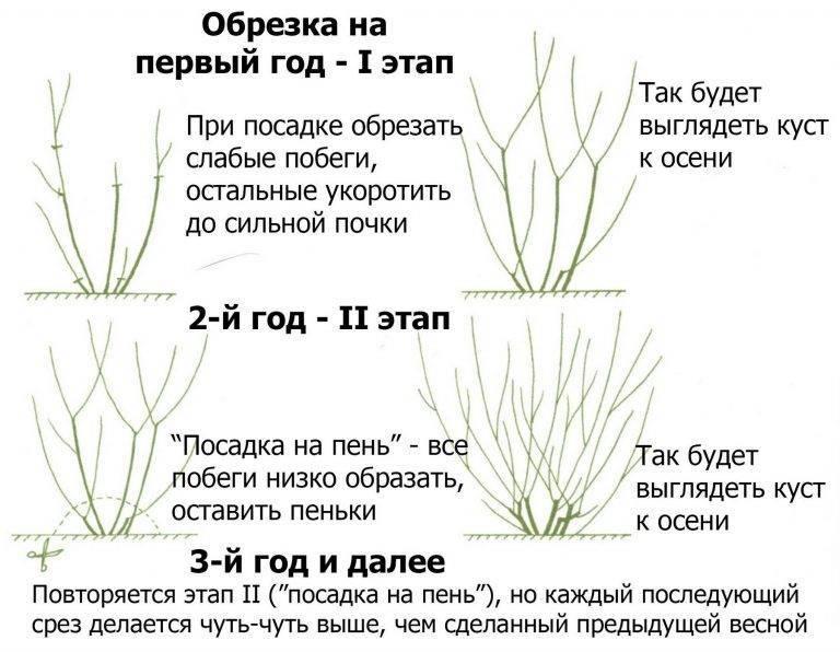 Как выращивать барбарис
