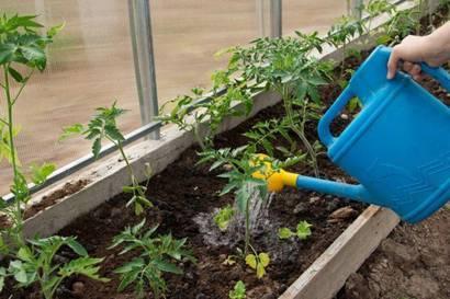 Как часто и правильно поливать помидоры в теплице капельным методом