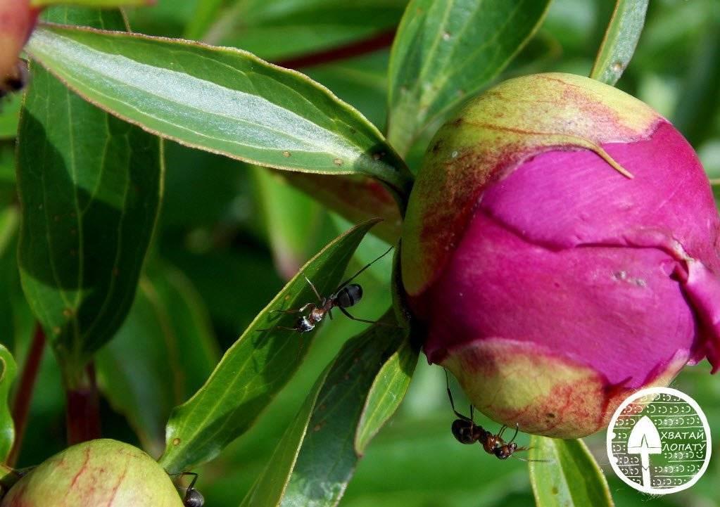Чем болеют пионы, какими вредителями они поражаются