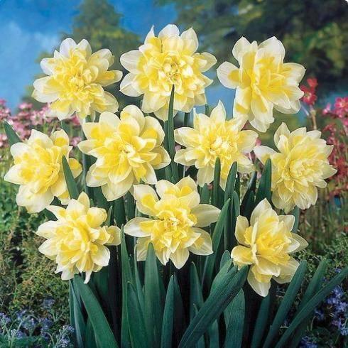 Нарциссы, украшение любого участка: выращивание и уход в открытом грунте