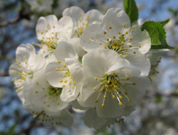 Засыхает вишня — что делать, если засохли ягоды на дереве