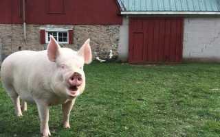 Как понять что свинья загуляла