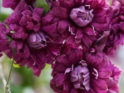 Описание клематиса сорта пурпуреа плена элеганс, выращивание и обрезка