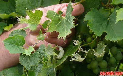 Как бороться с болезнями и вредителями винограда, что делать и чем опрыскивать