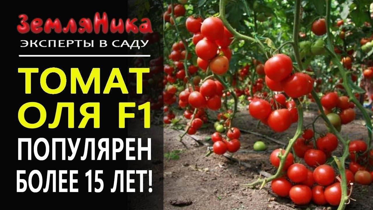 Томат оля: урожаен в любом регионе и при любых условиях выращивания