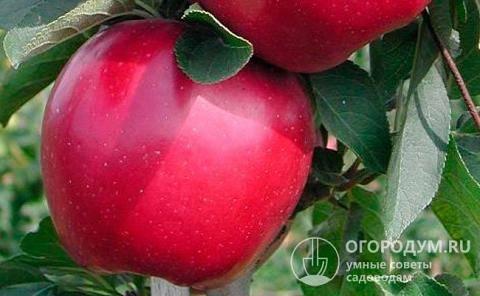 Яблоня конфетное: особенности сорта и ухода