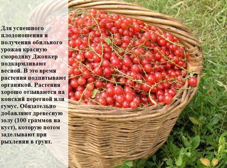 Смородина йонкер ван тетс (джонкер) — красная, описание сорта и отзывы