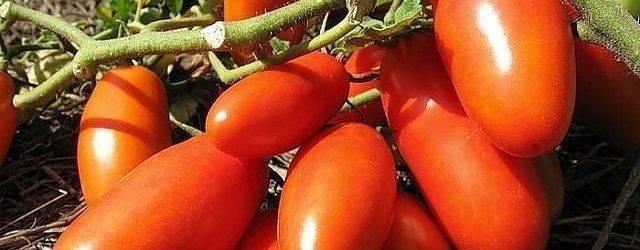 Обзор лучших сортов томатов для Волгоградской области