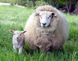 Порода овец меринос в австралии