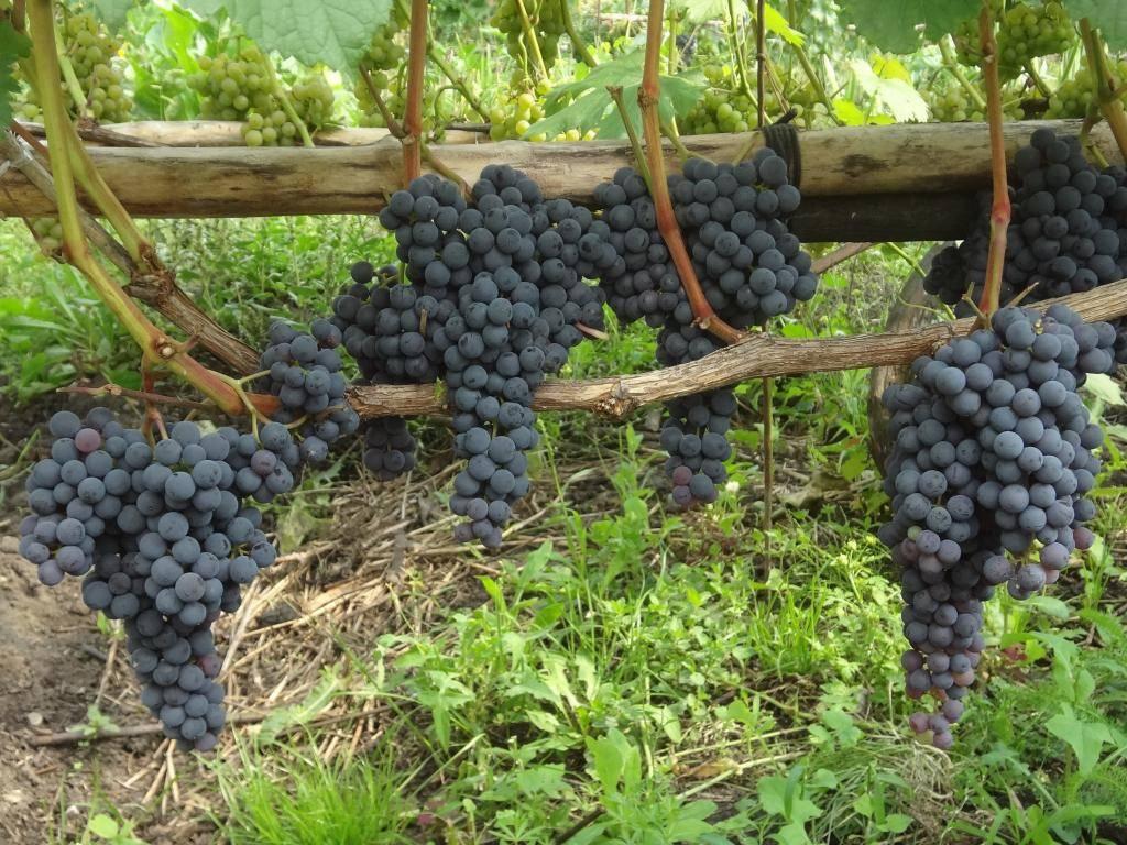 Виноград негруля описание сорта фото отзывы. виноград памяти негруля: описание сорта