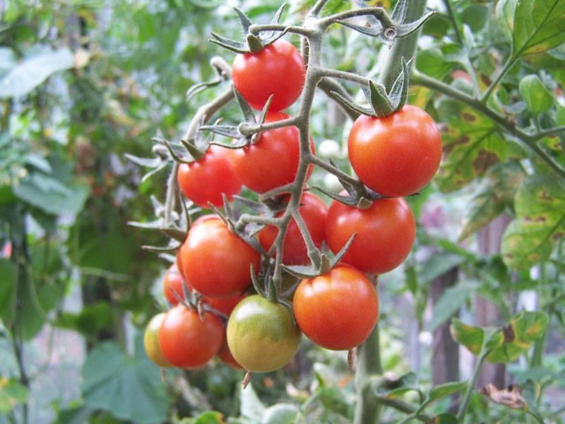 Характеристика и описание сорта томата Анастасия, его урожайность