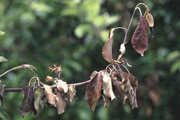 На листьях яблони коричневые пятна: что это за болезнь и чем лечить