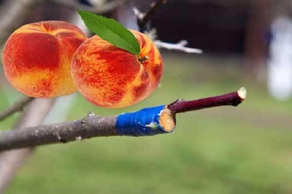 Как правильно привить персик: инструкция для начинающих