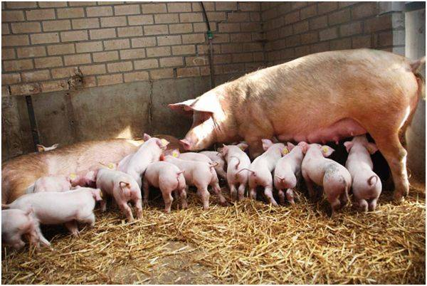 Свинка без жениха: проводим искусственное осеменение