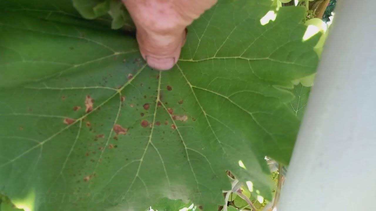Как обрабатывать виноград медным купоросом весной и осенью