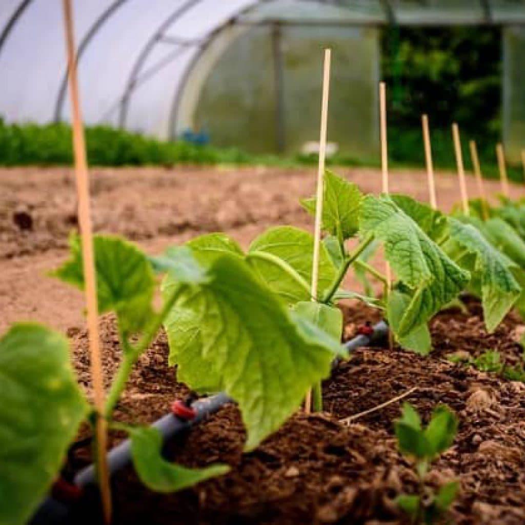 Удобрение овощных культур карбамидом