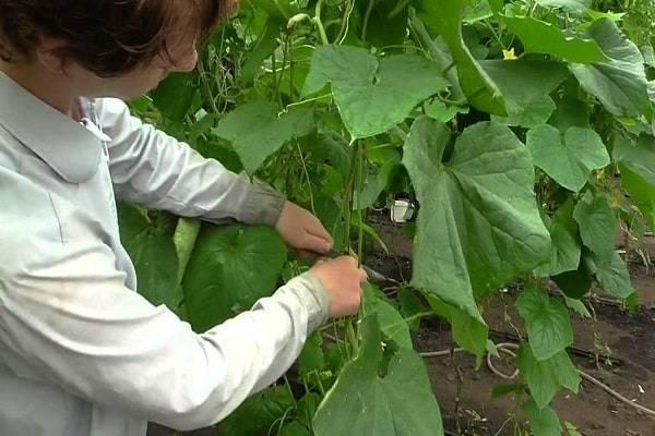 Как правильно применять удобрение «интермаг огород огурцы»