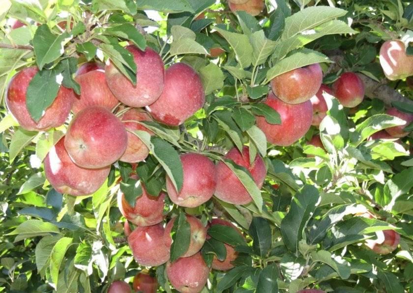 Национальный символ и гордость казахстана — сорт яблонь апорт