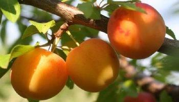 Желтая самоплодная слива: особенности, преимущества, сорта для выращивания в подмосковье