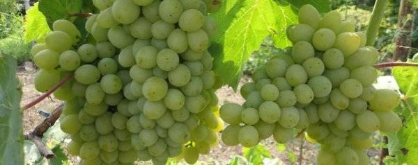 Подробное описание винограда сорта «гарольд»: характеристики, фото, отзывы