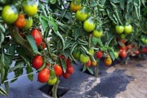 Описание сорта томата Цетус розовый, его характеристика и урожайность