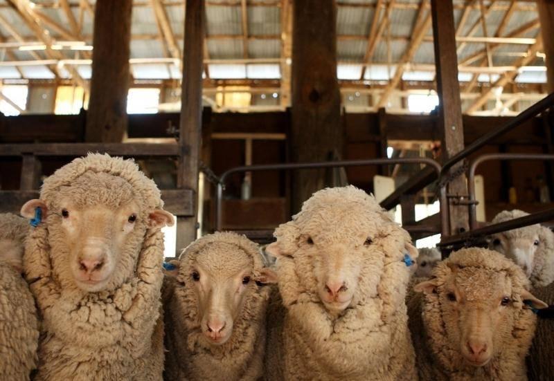 Кто был предком овцы?