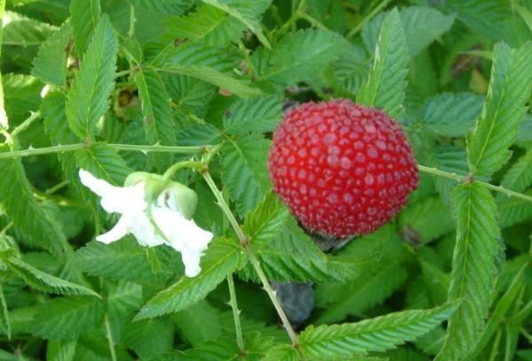 Описание ремонтантного сорта малины полька, урожайность, посадка и уход