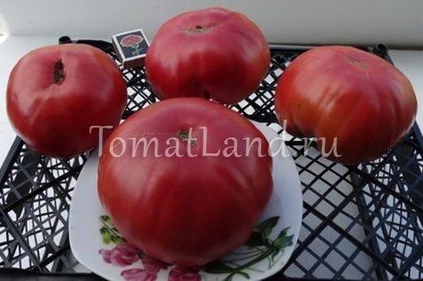 Характеристика и описание сорта томата бабушкин секрет и его урожайность