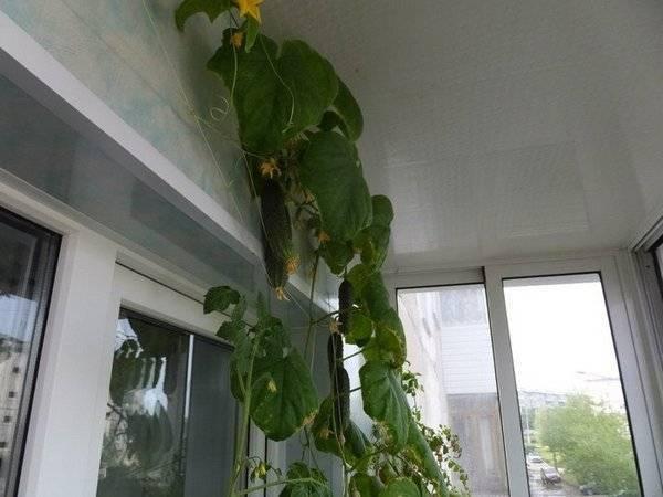 Технология выращивания огурцов на балконе и подоконнике