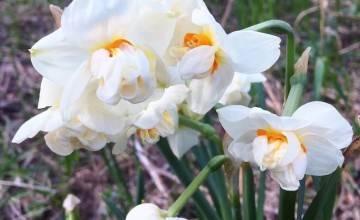 Нарциссы — посадка и уход в открытом грунте, фото, видео