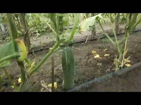 Применение луковой шелухи для томатов