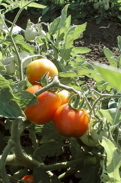 Описание сорта томата антоновка медовая и его характеристики